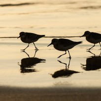 Sanderlings are seldom alone