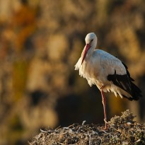 A lonely White stork settles for the night