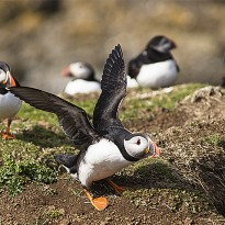 Puffins make burrows on the soft soil