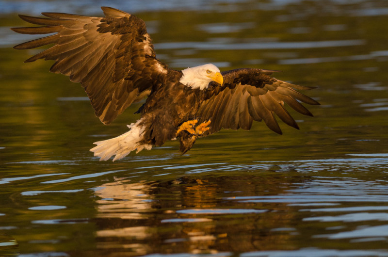A bald eagle (Haliaeetus leucocephalus) swooping down to catch a fish