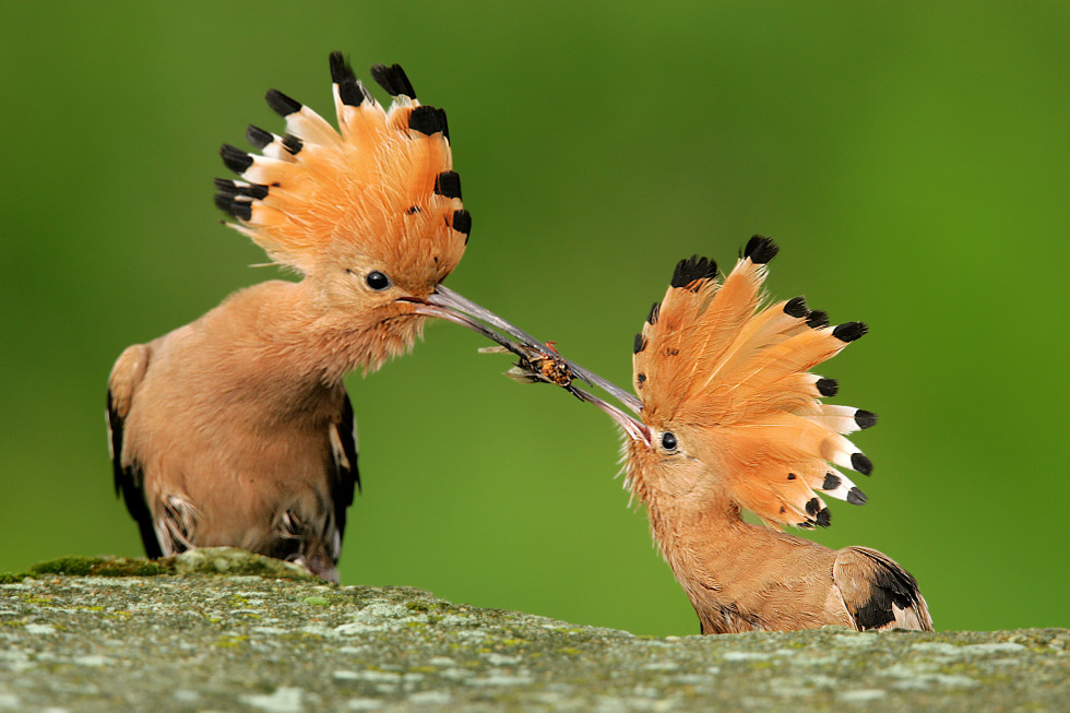 A male hoopoe (Upupa epops) giving his mate a courtship gift (photo credit:Grzegorz Lesniewski)