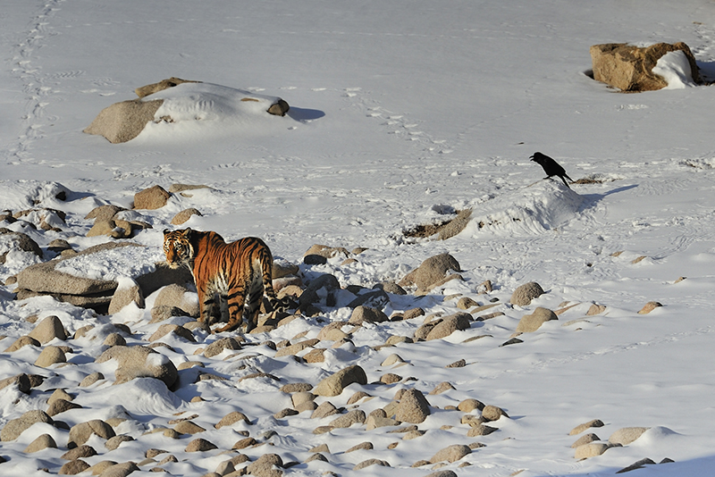 Amur tiger (Panthera tigris altaica) walking on the sea shore (photo credit: Toshiji Fukuda)