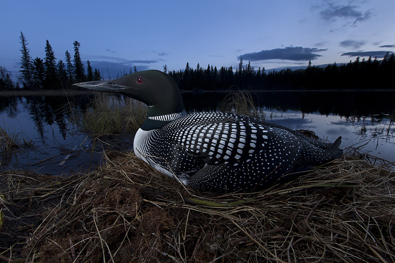 Common loon (Gavia immer) incubating her eggs at dusk (photo credit: Connor Stefanison)