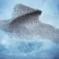 Starlings (Sturnus vulgarus) flocking before roosting. This shape making in the sky is known as a murmuration - Gretna Green Dumfries (photo credit: David Tipling)