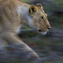 Lioness, Kenya (photo credit: Greg du Toit)