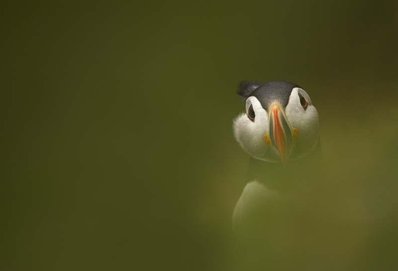 Puffin (photo credit: Danny Green)