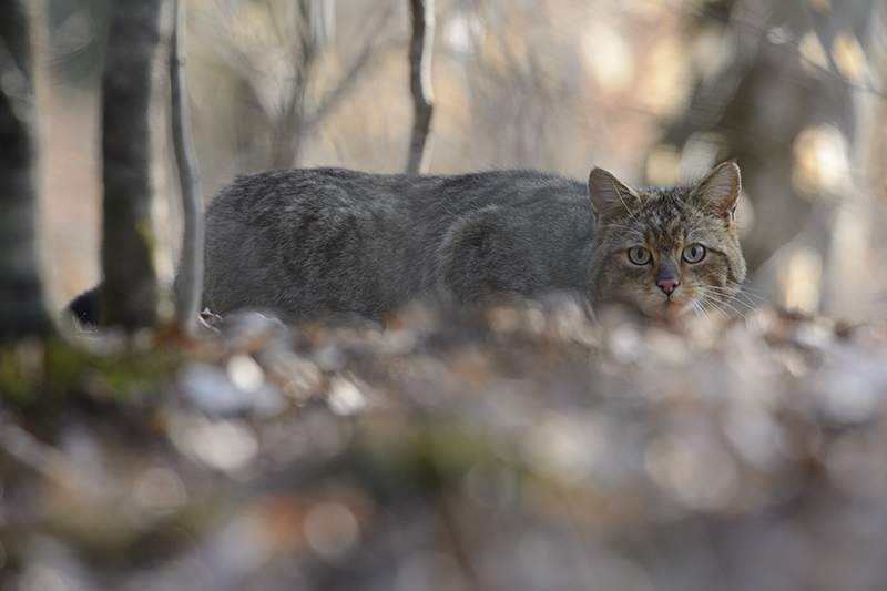 Wild cat (Felis Silvestris) (photo credit: Fabrice Cahez)